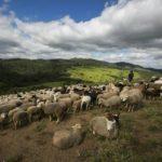 Produção de Cordeiros no Brasil