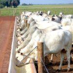 Como melhorar o rendimento do gado com a suplementação